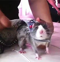 Rat Convention: Yes, There Really Is One