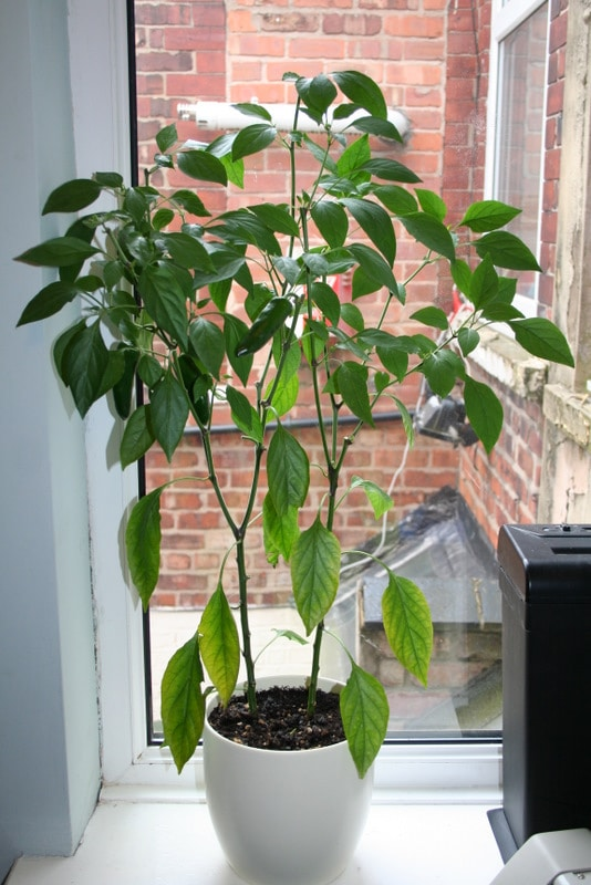 Grow your own: Peppers!