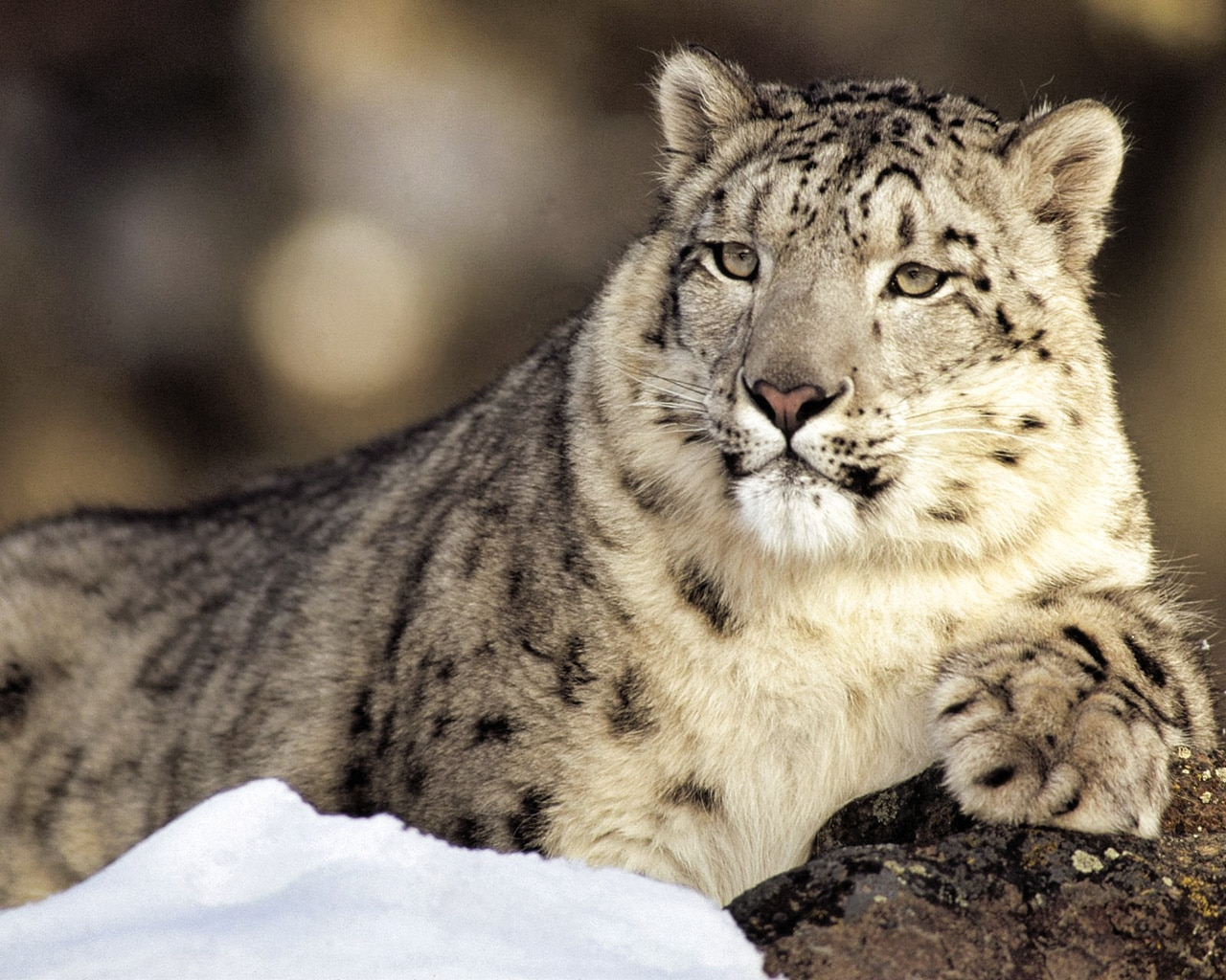 Snow Leopards for Kids