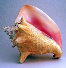 Have You Ever Blown A Giant Sea Mollusk Before?