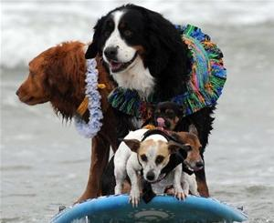 Cute Dogs On The Waves – The True Surfer Kings!