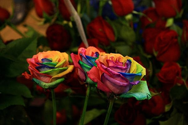 How to grow a rainbow colored rose bit rebels for Rainbow dyed roses
