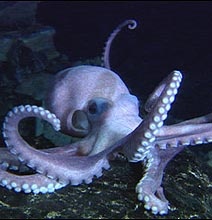 The Octopus That Lives In A Beer Bottle