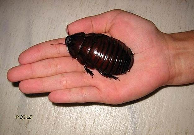The Largest Cockroach Ever