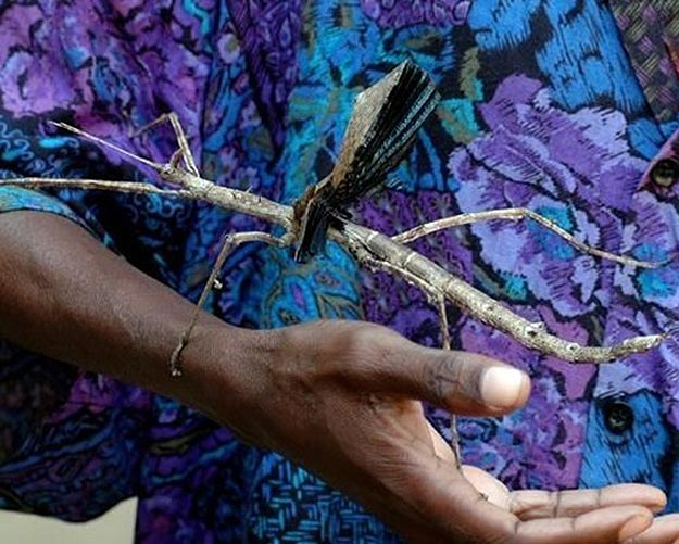 The Giant Stick Insect