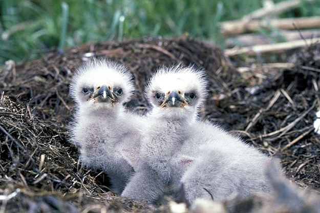 This Family Of Bald Eagles Is An Internet Sensation