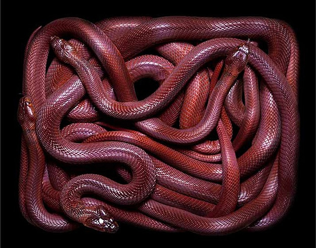 Serpent Still Lifes Photographs