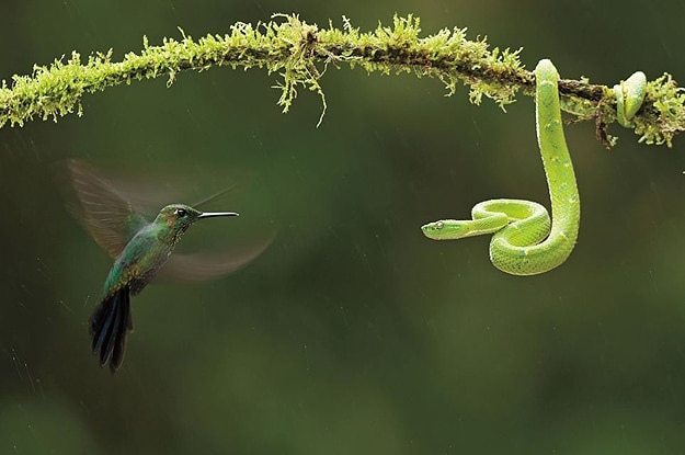 Hummingbird and Viper Photograph