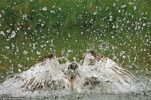 Bird Splashing In Water