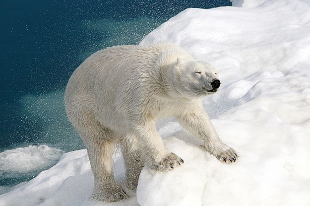 Polar Bear On Ice Photograph
