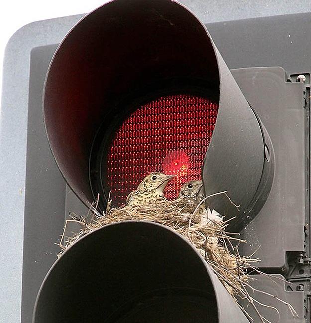 Baby Birds In Traffic Light
