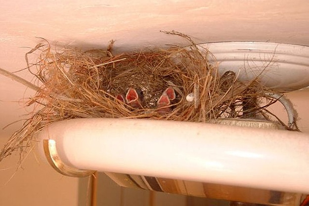 Baby Birds In Metal Pipes