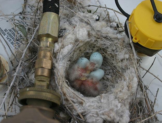 Blue Birds In PVC Pipe