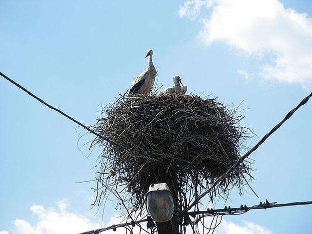 Baby Birds On Telephone Pole