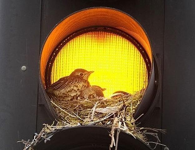Baby Birds In Stop Light