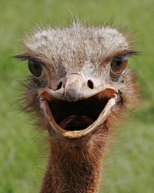 Cute Ostrich Close Up Image