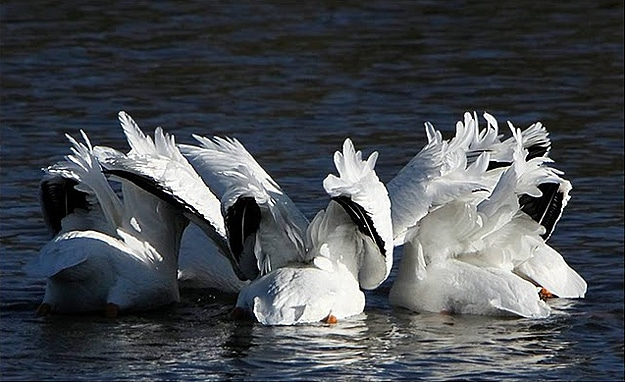 Group Of Birds Swim Together