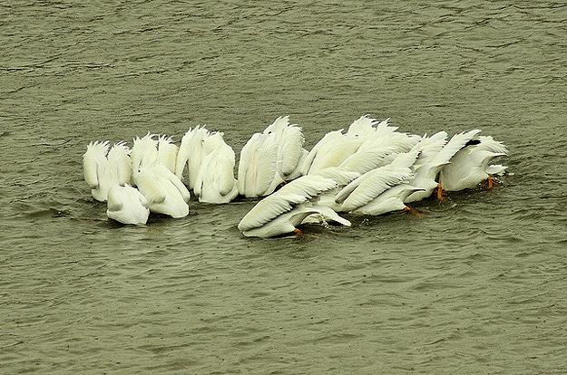 White Birds Swim Together