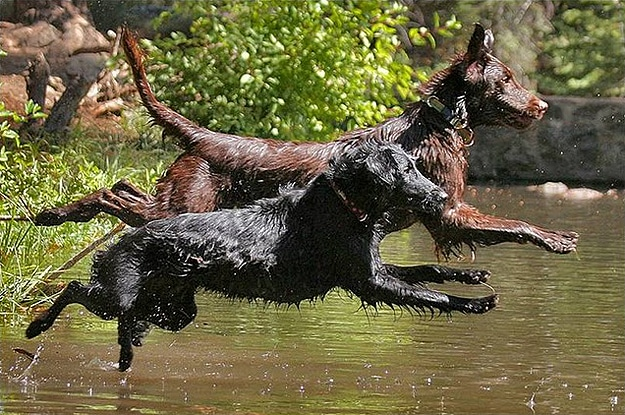 Dogs Diving Into Water Together