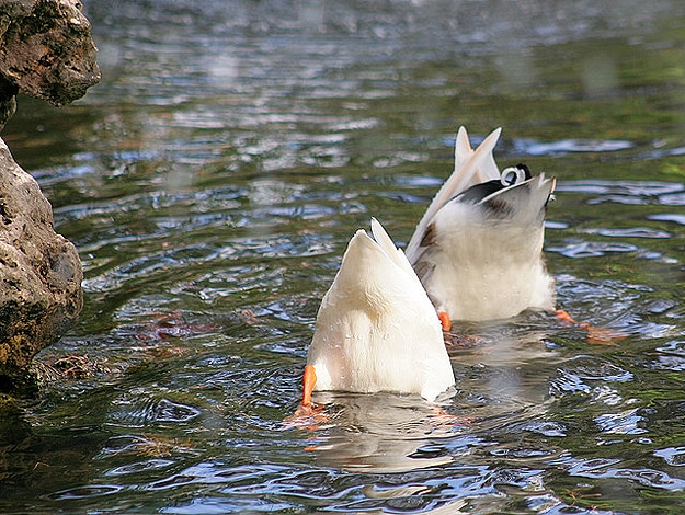 Two Ducks Head Under Water