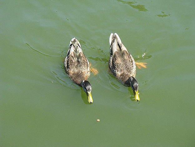 Two Ducks Swim Together