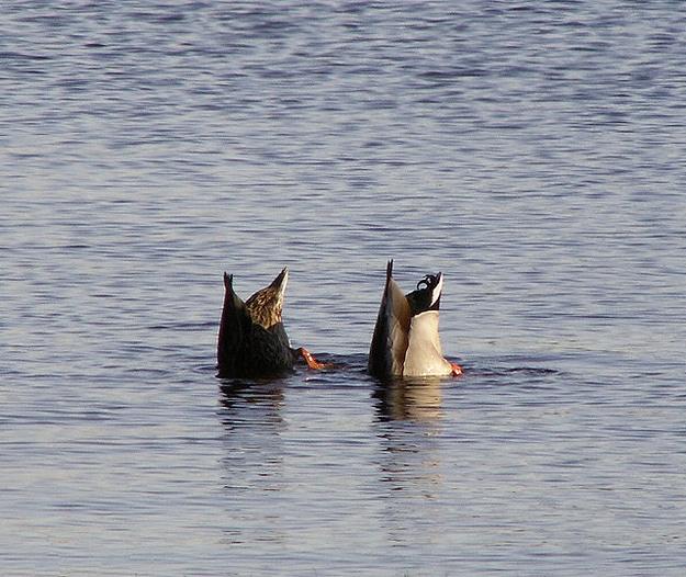 Two Ducks Head In Water