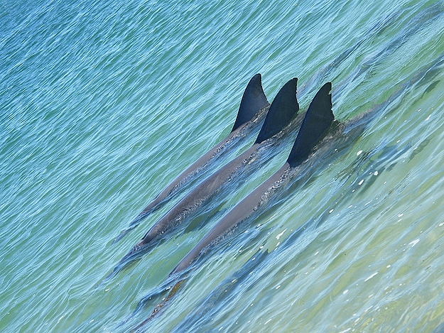 Three Sharks Swim In Synch