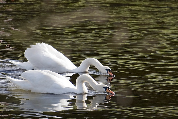 Swans Swim Together In Water