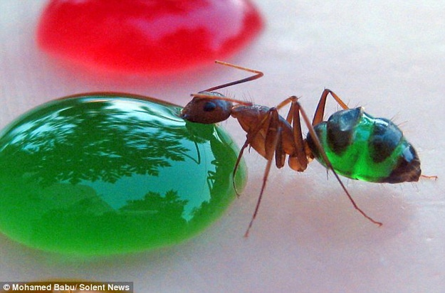 Science: Beautiful Rainbow Colored Ant Stomachs