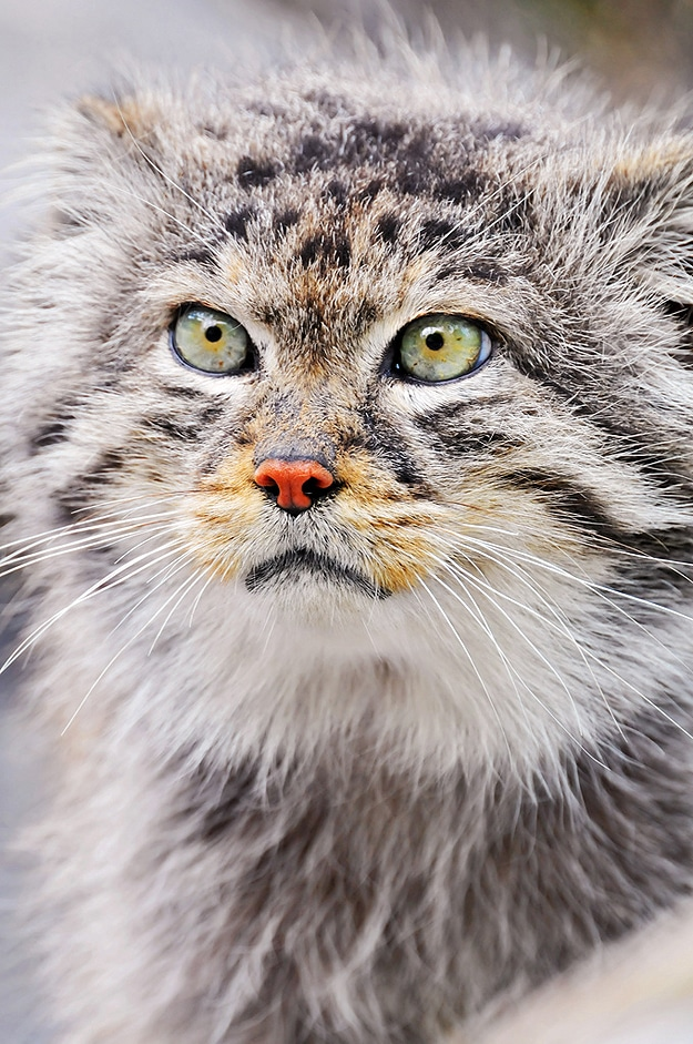 Small Wild Cat Image