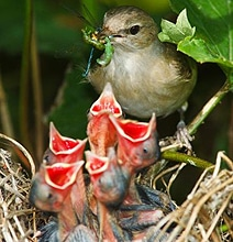 Mama Birds Feeding Baby Birds: 8 Heart Warming Photos