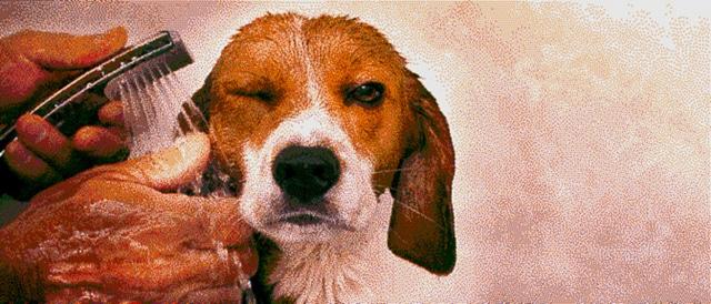 Sprinkle Beagle Dog Portrait Artwork