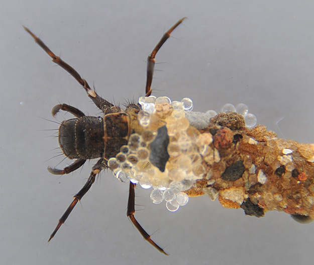 Bling From Bugs: Caddisflies Are Natural Designers
