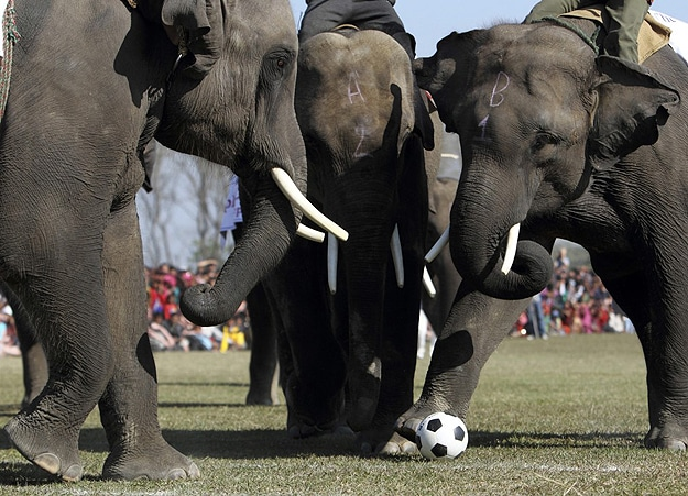 Elephants Play Soccer & Enter Beauty Pageant In Nepal