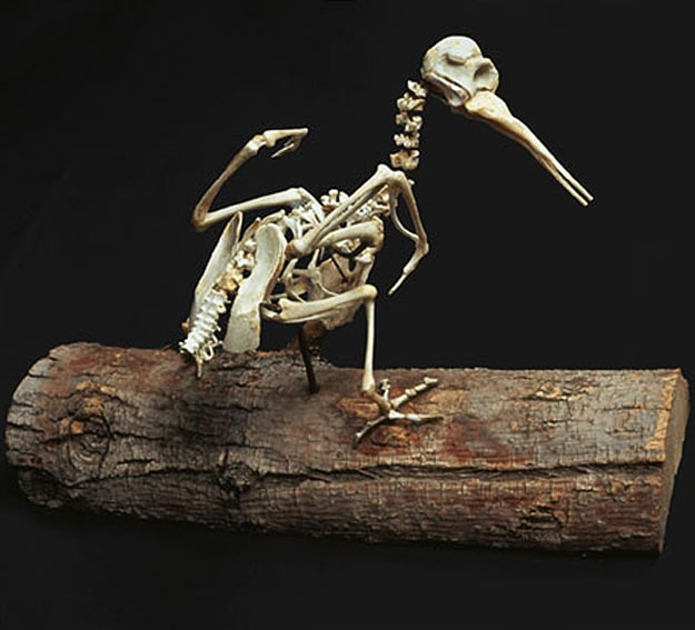 Extinct Birds From Chicken Bones