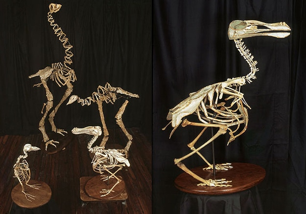 Extinct Birds Made From Bones