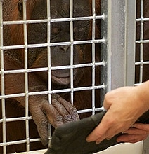 Apps For Apes: Even Orangutans Like Playing With iPads