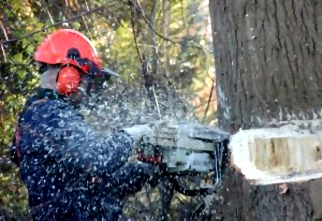 chainsaw logger cuts tree