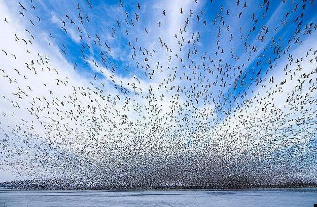 Birds Swarm Flying Together