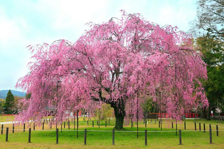 cherry-blossom-cupcake-painting