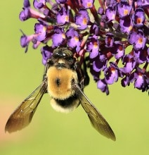 Buzz Pollination: Bumblebees Sing For Their Supper