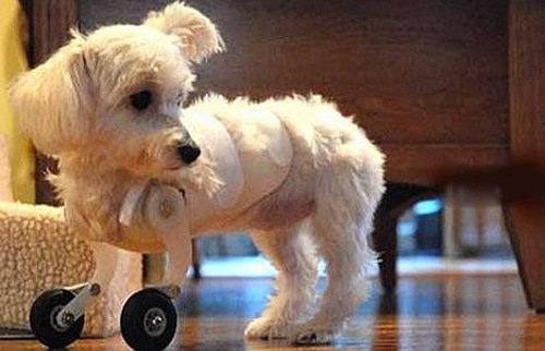 Your Daily Cute: The Adorable Puppy With Bionic Front Legs
