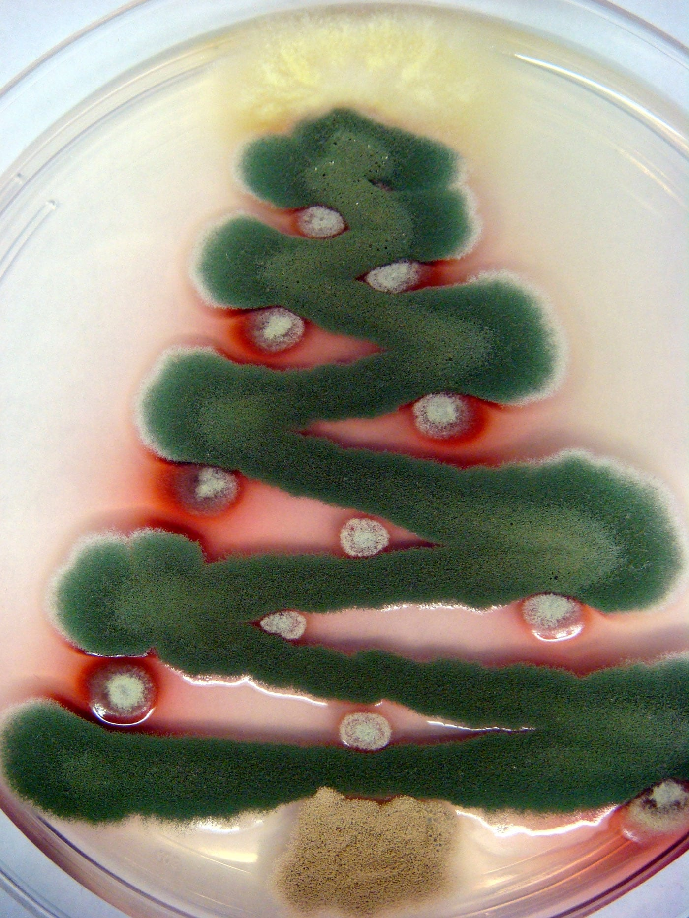 petri-dish-christmas-trees