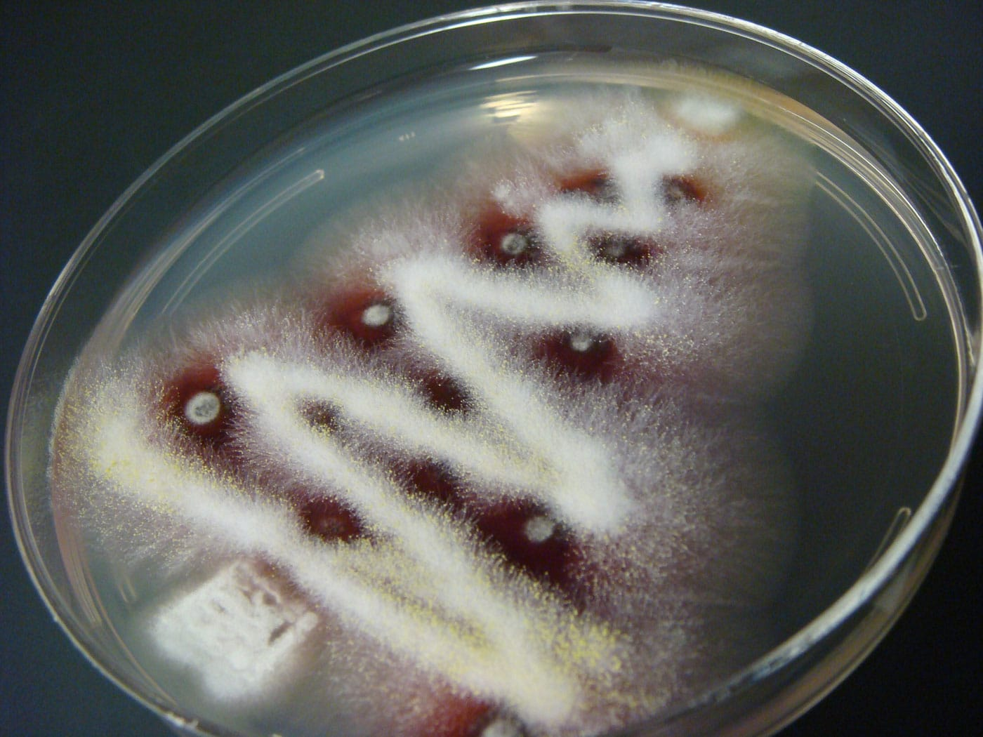 christmas-tree-in-petri-dish
