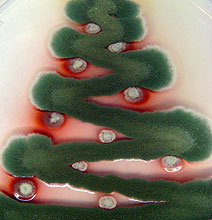 Christmas Trees Created In A Petri Dish With Festive Fungi