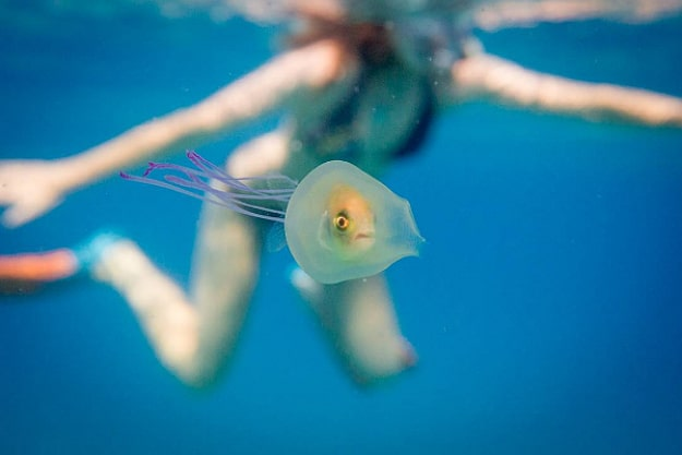 Fish Trapped Inside Jellyfish