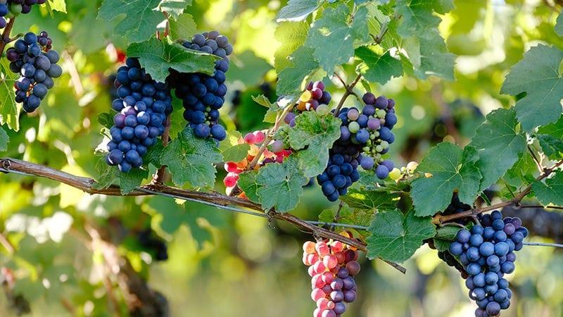 Pinot Noir Spotlight Header Image