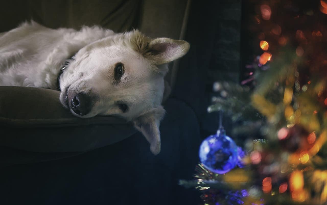 Dog Christmas Time Article Image