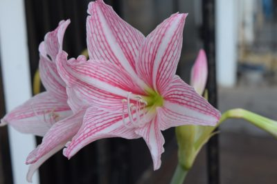Plant Indoor Hippeastrum Flowers Lifestyle Image1