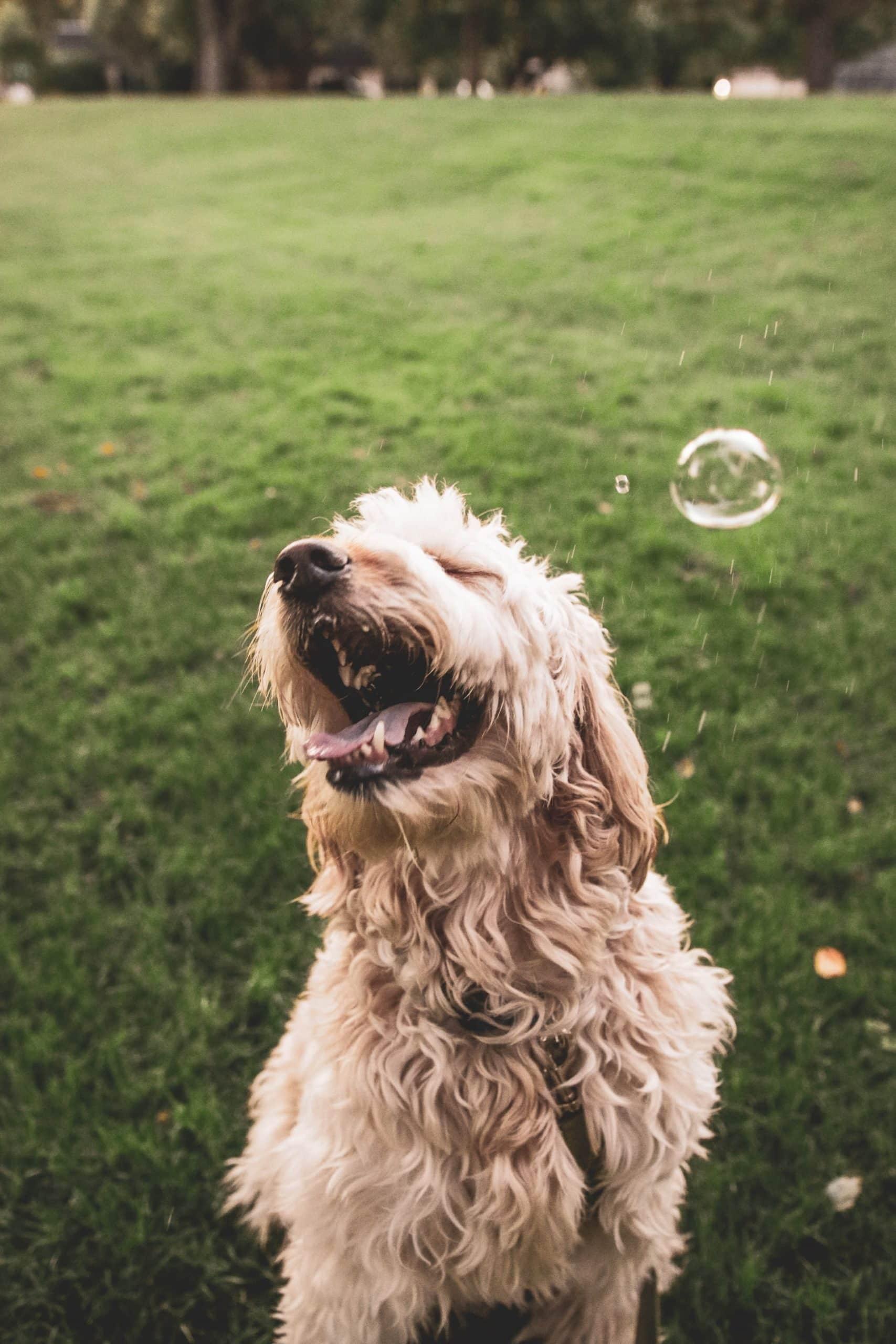 Guide Bathing Goldendoodle Dog Article Image